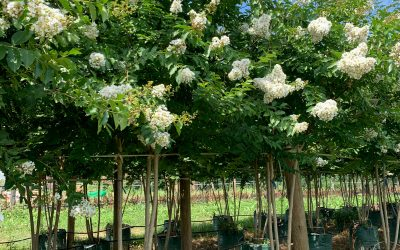 Check Out These Crape Myrtles!